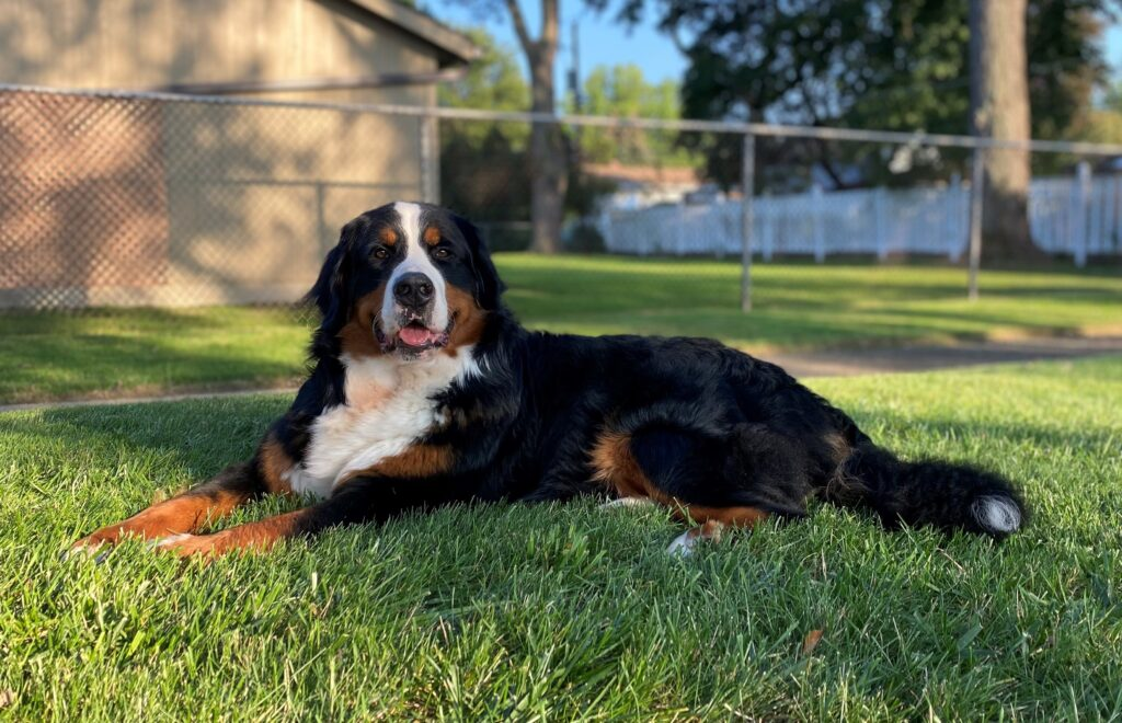 Penelope the Bernese Mountain Dog After a Bath